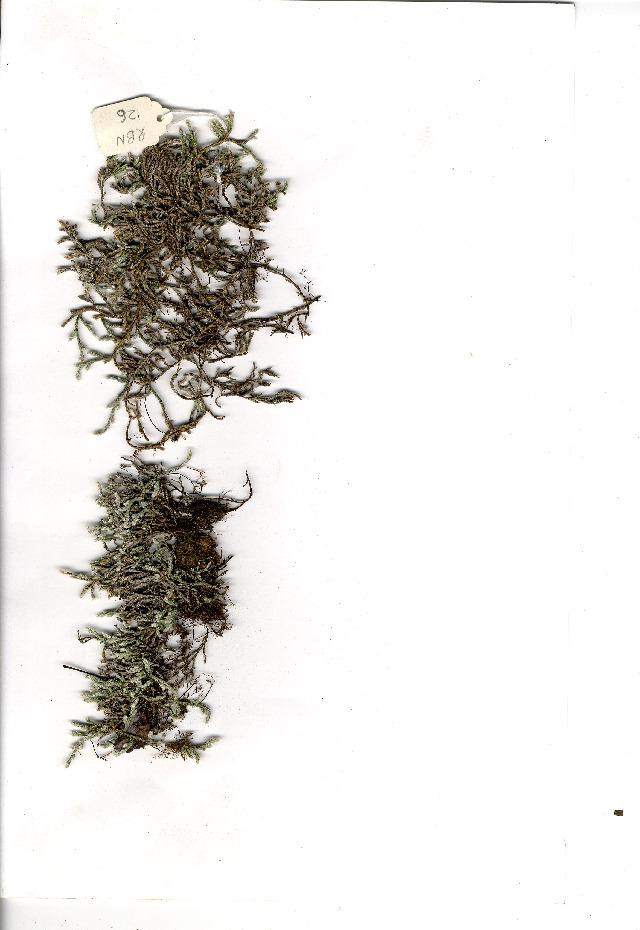 Image of <i>Selaginella dregei</i> (Presl) Hieron.