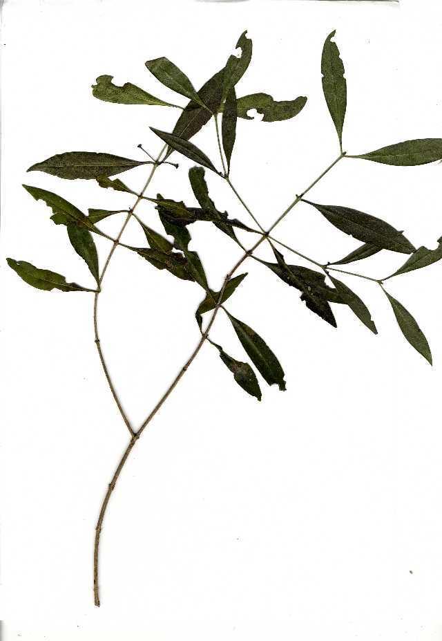 Image of <i>Coptosperma supra-axillare</i> (Hemsl.) Degreef