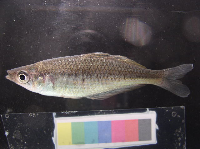 Image of <i>Glossolepis leggetti</i> Allen & Renyaan 1998