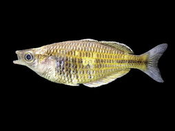 Image of Boeseman's Rainbowfish