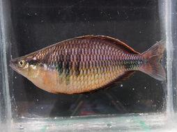 Image of <i>Melanotaenia</i>