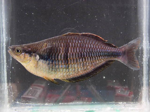 539.bifa melanotaenia sp1 klasio 164 p1010044 1009818000 jpg