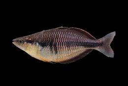 539.bifa melanotaenia sp1 klasio 165 p1010045 1341999971 jpg.260x190