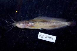 Image of walking catfish