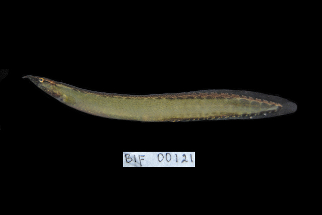 Image of <i>Macrognathus maculatus</i> (Cuvier 1832)