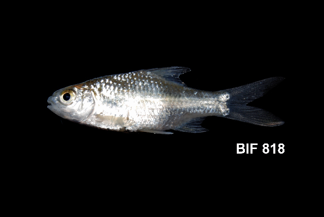 Image of Common barb
