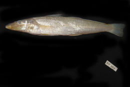Image of Asian whiting