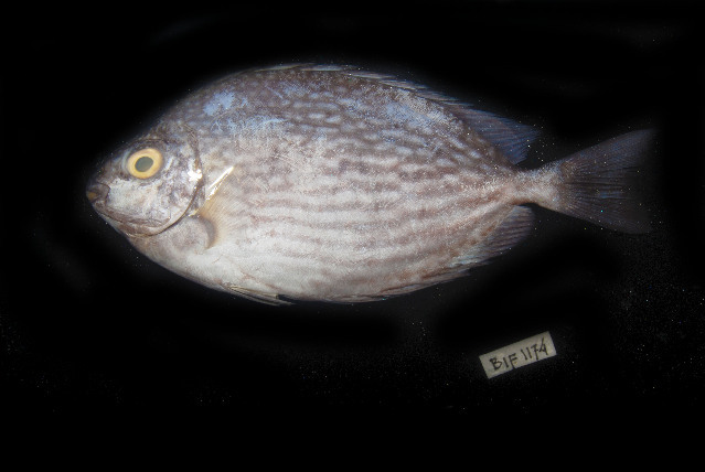Image of Bluespotted spinefoot