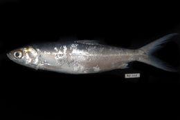 Image of Milkfish