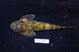 Image of loach goby