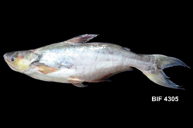 Image of Pangasius