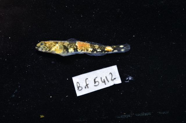 Image of Schismatogobius