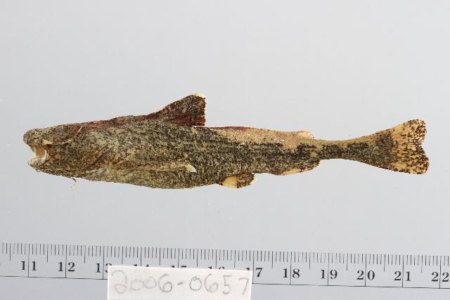 Image of Acrochordonichthys
