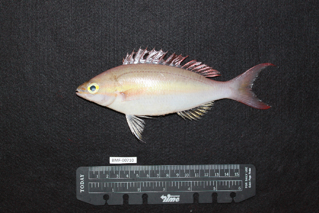 Image of Pentapodus