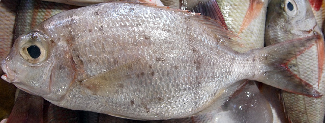 Image of undescribed monocle bream