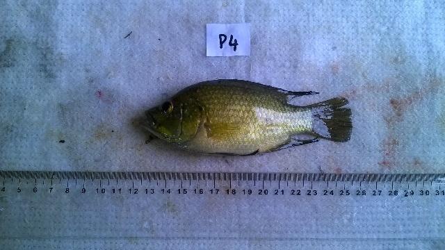 Image of Paratilapia