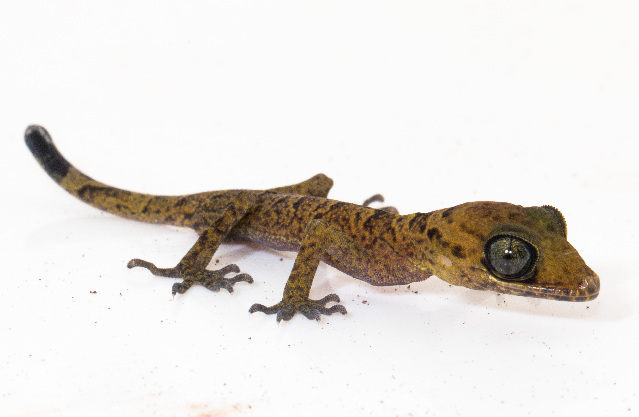 Image of Curve-toed Geckos