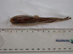 Image of Striped catfish