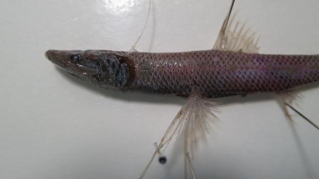 Image of Mediterranean Spiderfish
