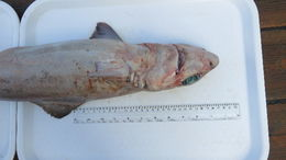 Image of Gulper Shark