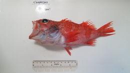 Image of Blackbelly Rosefish