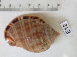Image of <i>Phalium undulatum granulatum</i>
