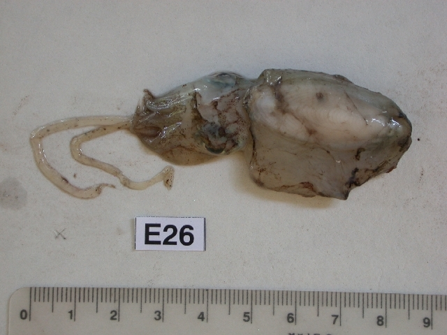 Image of Common Cuttlefish