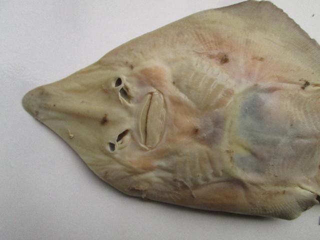 Image of Common Guitarfish