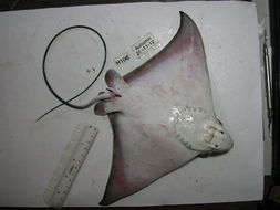 Image of <i>Aetomylaeus bovinus</i> (Geoffroy Saint-Hilaire 1817)