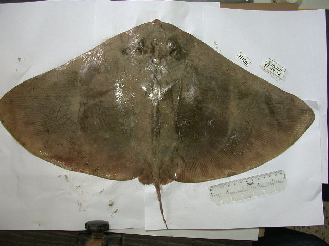 Image of Spiny Butterfly Ray