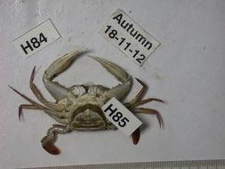 Image of <i>Heterosaccus dollfusi</i> Boschma 1960