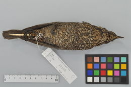 Image of Blue rock thrush