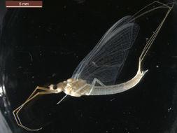 Image of <i>Anthopotamus verticis</i> (Say 1839)