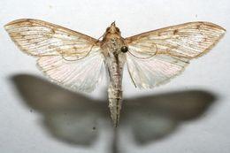Image of Chilochromopsis
