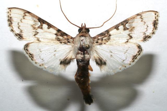 Image of Azochis
