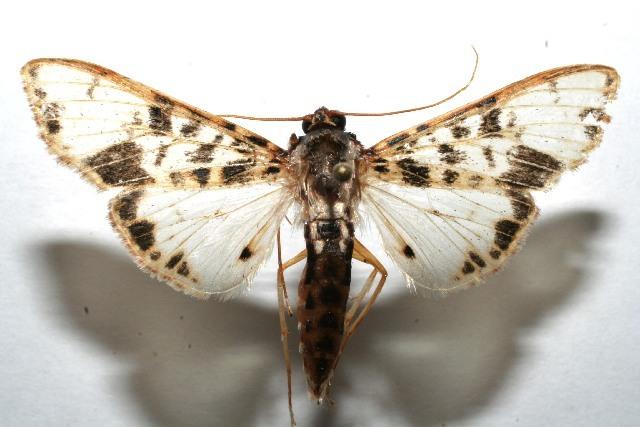 Image of <i>Azochis mactalis</i>
