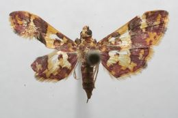 Image of Glyphodes