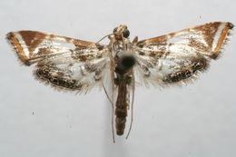 Image of <i>Argyractoides leucogonialis</i> Hampson 1906