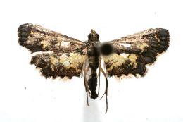 Image of <i>Eurrhyparodes lygdamis</i> Druce 1902