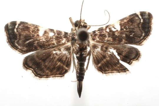 Image of <i>Dichocrocis penniger</i> Dyar 1914