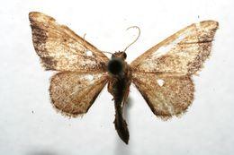 Image of Idaea