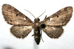 Image of Eupithecia