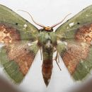 Image of <i>Pyrochlora rhanis</i> Cramer 1777