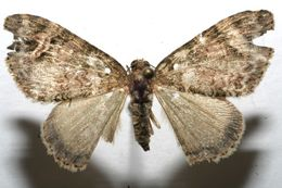 Image of <i>Euphyia emberizata</i> Guenée 1858