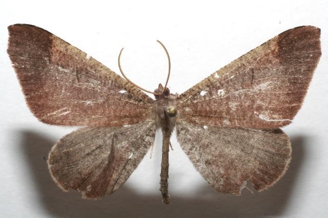 Image of <i>Macrosoma amaculata</i> Scoble 1990