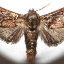 Image of <i>Euphobetron cupreitincta</i> Dyar 1906