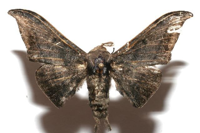 Image of Cicinnus