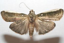 Image of Carthara