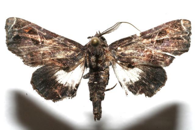 Image of <i>Eutelia apithana</i> Dyar 1914