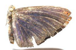 Image of <i>Metacharis umbrata</i>